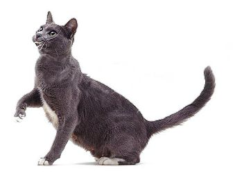 Domestic Shorthair Cat for adoption in Port Republic, Maryland - Gracie 2