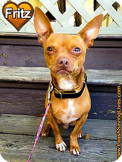 Chihuahua Mix Dog for adoption in Pitt Meadows, British Columbia - Fritz