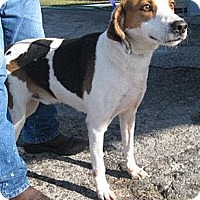 Treeing Walker Coonhound/Hound (Unknown Type) Mix Dog for adoption in Orange Lake, Florida - Sawyer