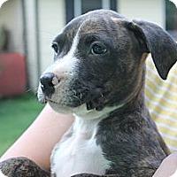 Adopt A Pet :: Macey - ARDEN, NC