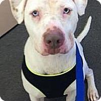 Adopt A Pet :: Noah - Chicago, IL
