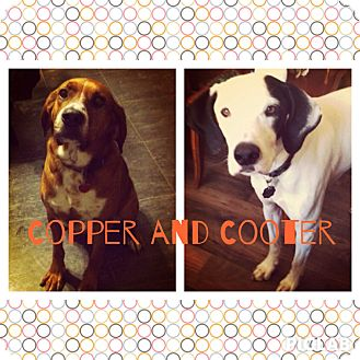 Labrador Retriever/Coonhound Mix Dog for adoption in Kansas city, Missouri - Cooter and Copper (courtesy po