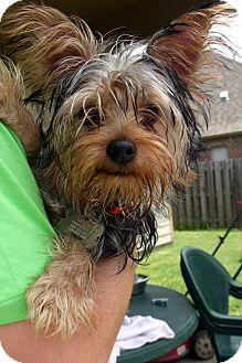 Silky Terrier/Yorkie, Yorkshire Terrier Mix Dog for adoption in Baton Rouge, Louisiana - Eddie