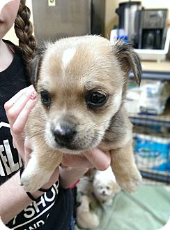 Cocker Spaniel/Dachshund Mix Puppy for adoption in Thousand Oaks, California - Linguine