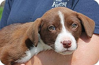 Beagle/Labrador Retriever Mix Puppy for adoption in Westwood, New Jersey - Marco