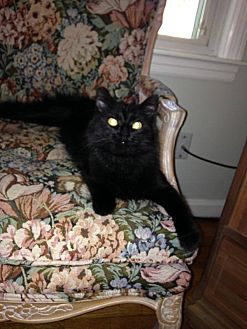 Domestic Mediumhair Cat for adoption in Middletown, Ohio - Kiley