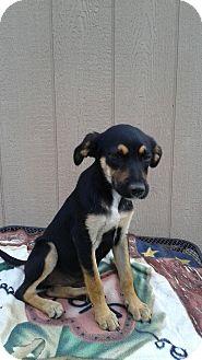 Australian Shepherd Mix Puppy for adoption in West Hartford, Connecticut - Licorice