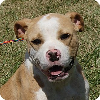Boxer Mix Puppy for adoption in Monroe, Michigan - Chipper