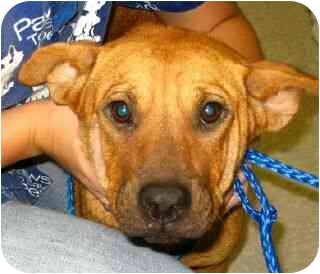 Shar Pei Mix Puppy for adoption in Kingwood, Texas - SweetiePie