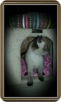 Siamese Kitten for adoption in Richmond, California - Livia