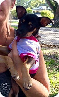 Chihuahua/Miniature Pinscher Mix Puppy for adoption in Hialeah, Florida - Laverne