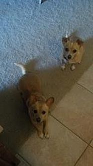 Chihuahua Mix Dog for adoption in Scottsdale, Arizona - Katie and Doc