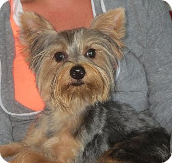 Yorkie, Yorkshire Terrier Puppy for adoption in Rochester, New York - Little Britches