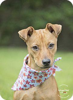 Basenji/Whippet Mix Dog for adoption in Kingwood, Texas - Sally