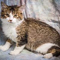 Domestic Shorthair Kitten for adoption in Anna, Illinois - VENUS