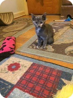 Domestic Shorthair Kitten for adoption in Overland Park, Kansas - Poppy