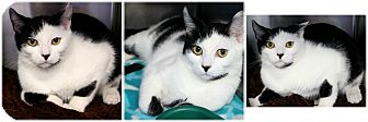 Domestic Shorthair Cat for adoption in Forked River, New Jersey - Mugsy