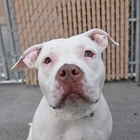 American Staffordshire Terrier Mix Dog for adoption in Whitestone, New York - Roxy (Acc)