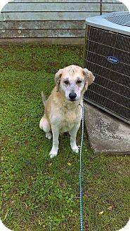 Labrador Retriever Mix Dog for adoption in Walker, Louisiana - Bo