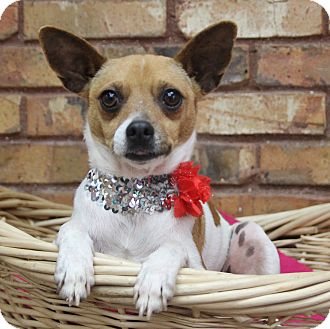 Chihuahua Mix Dog for adoption in Benbrook, Texas - Fiona