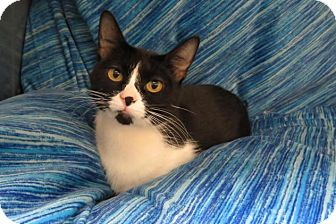 Domestic Shorthair Cat for adoption in Detroit, Michigan - Lilly