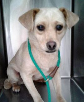 Chihuahua Mix Dog for adoption in Rio Rancho, New Mexico - Blondie