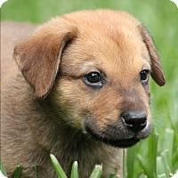 Adopt A Pet :: Westen - Seattle, WA