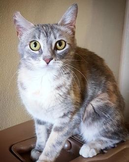 Domestic Shorthair/Domestic Shorthair Mix Cat for adoption in Fredericksburg, Texas - Amber