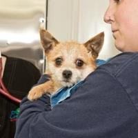 Adopt A Pet :: HUDSON - Cashiers, NC