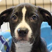 Adopt A Pet :: Apple Pup - Pompton Lakes, NJ