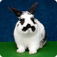 Adopt A Pet :: Beckham - Chicago, IL