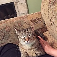 Domestic Shorthair Cat for adoption in Johnson City, Tennessee - Elmwood
