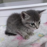 Adopt A Pet :: Koe - Santa Paula, CA