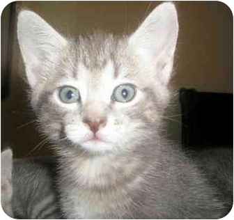 Domestic Shorthair Kitten for adoption in Troy, Michigan - Daisie