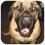 Photo 4 - Mastiff Dog for adoption in Houston, Texas - Kodie