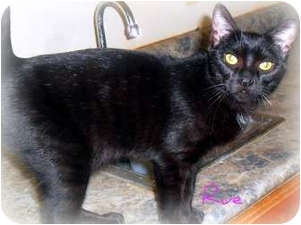 Domestic Shorthair Kitten for adoption in Rochester, Michigan - Rue