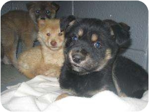 Shepherd (Unknown Type)/Chow Chow Mix Puppy for adoption in Henderson, North Carolina - India, Ivy, Iris, Igor, Iggy