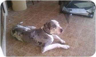 Great Dane Dog for adoption in Malabar, Florida - Merle