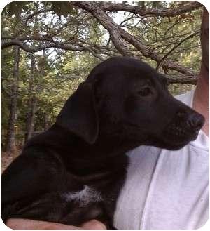 Labrador Retriever/Feist Mix Puppy for adoption in Coventry, Rhode Island - Bo