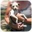Photo 1 - Chihuahua/Italian Greyhound Mix Dog for adoption in Kingwood, Texas - Lily
