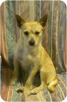 Cairn Terrier/Jack Russell Terrier Mix Dog for adoption in Carrollton, Georgia - Gemma