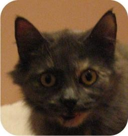 Domestic Mediumhair Cat for adoption in Ithaca, New York - Amy 13734-c