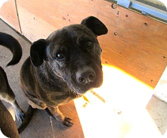 American Pit Bull Terrier Mix Dog for adoption in Providence, Rhode Island - Big Mamma