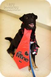 Retriever (Unknown Type)/Shepherd (Unknown Type) Mix Dog for adoption in Saskatoon, Saskatchewan - Cooper