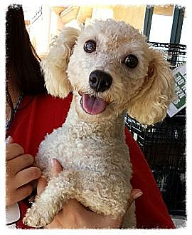 Bichon Frise Dog for adoption in Porter Ranch, California - CeeDee
