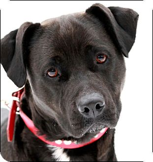 Labrador Retriever/Staffordshire Bull Terrier Mix Dog for adoption in Colville, Washington - Mandy