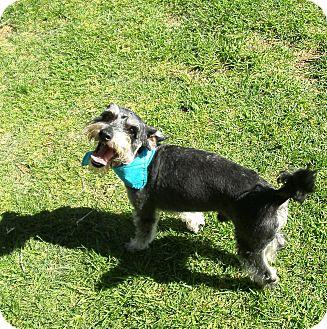 Schnauzer (Miniature) Mix Dog for adoption in El Cajon, California - Jasper