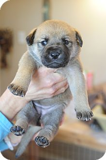 Labrador Retriever/German Shepherd Dog Mix Puppy for adoption in Greenfield, Wisconsin - Olivia
