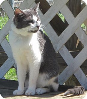 Domestic Shorthair Cat for adoption in Gonzales, Texas - Lexie