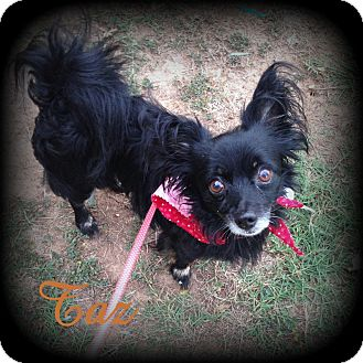 Papillon/Chihuahua Mix Dog for adoption in Denver, North Carolina - Taz